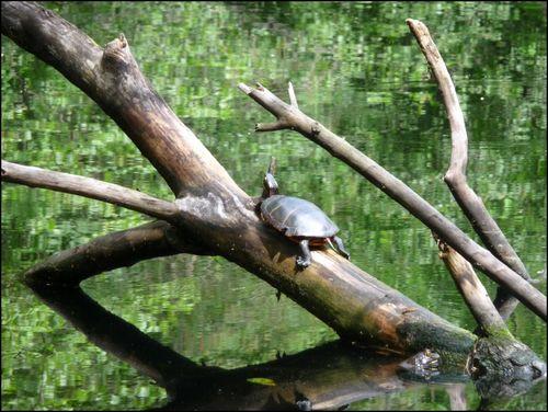 Painted-turtle
