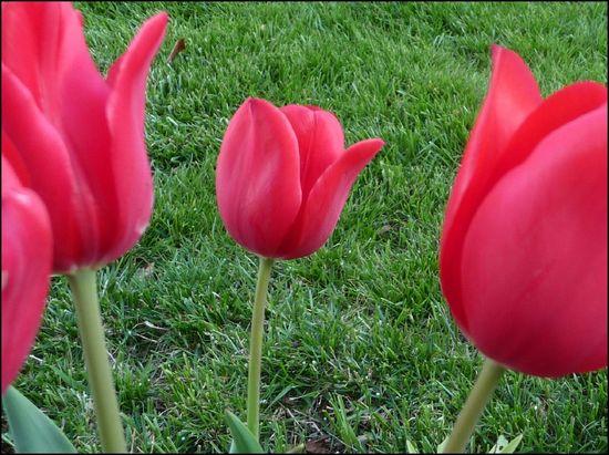 Tulip-April15