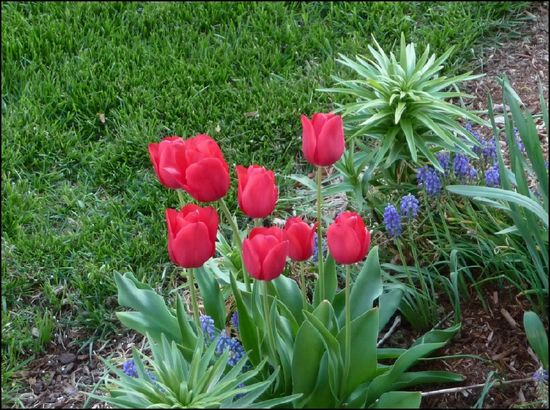 Tulips-April15