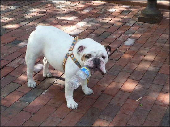 Bulldog-newburyst
