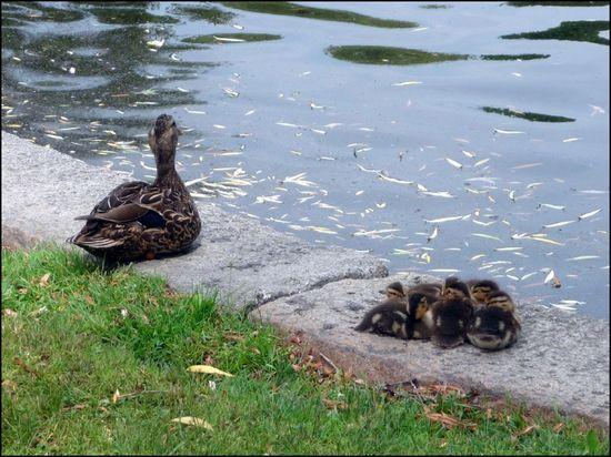 Duck-chicks