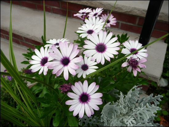 Purple-hearted-daisies
