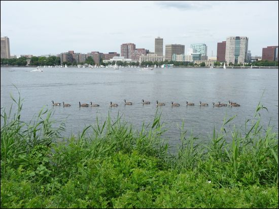 CharlesRiver-geese