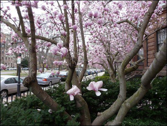 Magnolias-commave