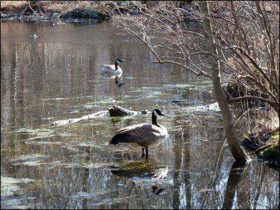 Geese-WeeksPond