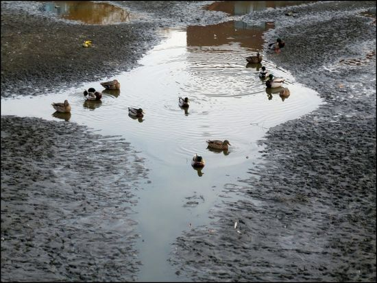 Ducks-in-Mud