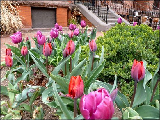 Anime-tulips