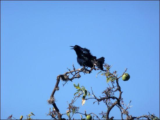 Cuervo-ruido2