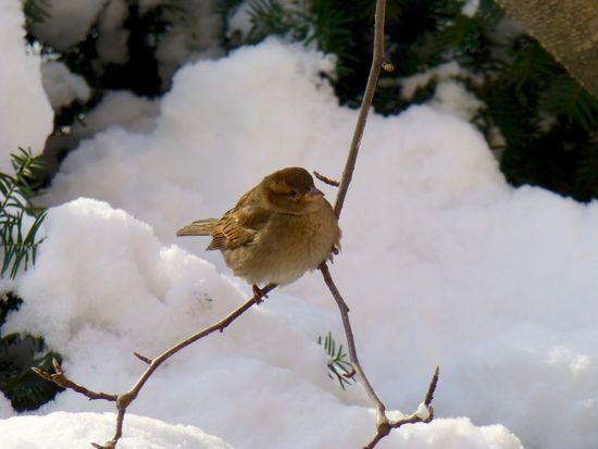 Fat-sparrow-winter_24354051242_o