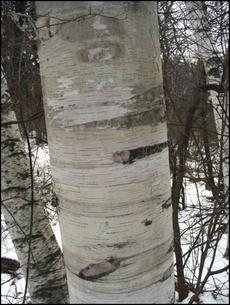Birches1_3